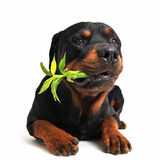 Rottweiler and lucky bamboo Stock Image