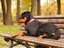 Rottweiler lying on the garden bench Stock Photos