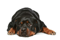Rottweiler lying on a white background Stock Photo