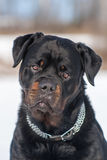 Rottweiler male Stock Photo
