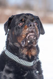 Rottweiler male Stock Image