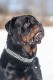 Rottweiler male Stock Photos