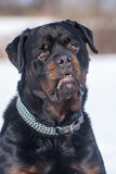 Rottweiler male Royalty Free Stock Image