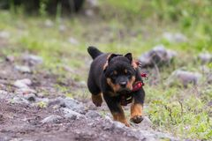 Rottweiler Male Puppy Running. Rottweiler Puppy Running And Jumping In The Nature stock photo