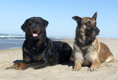 Rottweiler and malinois Stock Photo