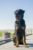 Rottweiler masculino joven que se sienta al aire libre Foto de archivo libre de regalías
