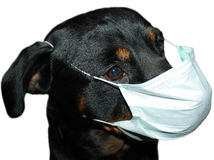 Rottweiler in masker stock fotografie