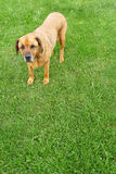 Rottweiler Mastiff mix standing on a lush lawn Royalty Free Stock Photos