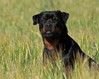 Rottweiler in a field Stock Photography