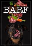 Rottweiler med den trötta tungan Begrepp av barfmål royaltyfri bild