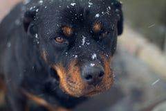 Rottweiler med snöflingor på framsidan Arkivfoton