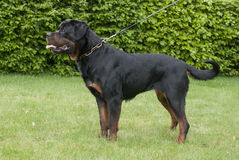 Rottweiler. The Rottweiler is a medium to large size breed of domestic dog. The dogs were known as Rottweil butchers' dogs  because they were used to herd Royalty Free Stock Photography