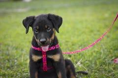 Rottweiler mignon Images libres de droits