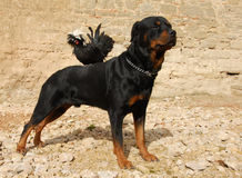 Rottweiler and miniature rooster Stock Images