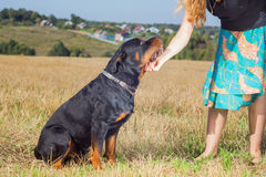 Rottweiler with mistress hand Royalty Free Stock Image