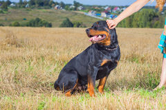 Rottweiler with mistress hand Royalty Free Stock Photo