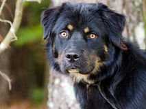 Rottweiler Mix Adoption Portrait. Rottweilier Mixed Breed Adoption Portrait Animal Shelter Adoption Outdoor Portrait stock photo