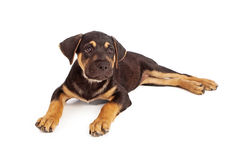 Rottweiler Mix Puppy Laying Down Stock Photos