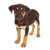 Rottweiler Mix Puppy Looking at Camera Stock Images