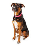Rottweiler Mix Sitting at an Angle Royalty Free Stock Photos