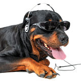 Rottweiler and music. Portrait of a purebred rottweiler with sunglasses and music in front of white background Stock Photos