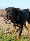 Rottweiler and muzzle. Purebred rottweiler and his muzzle in a field Stock Photo
