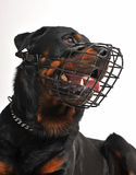 Rottweiler with muzzle Royalty Free Stock Photography