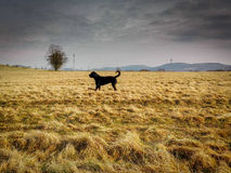 Rottweiler na polu Fotografia Royalty Free