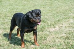 Rottweiler na trawie Selekcyjna ostrość na psie Zdjęcie Stock