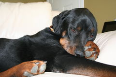Rottweiler napping on couch. Dog laying on sofa with paws tucked under Royalty Free Stock Photography