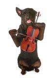 Rottweiler och fiol Arkivbild