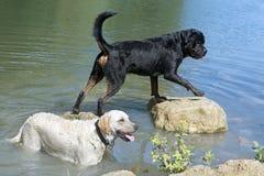 Rottweiler och labrador Royaltyfria Bilder