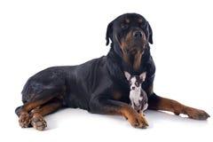 Rottweiler och valpchihuahua Arkivbild