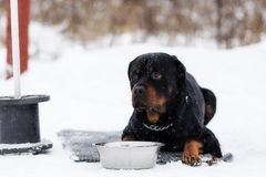 Rottweiler op een gang royalty-vrije stock foto's
