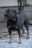 Rottweiler outdoor Stock Photo