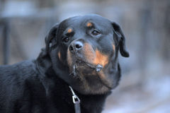 Rottweiler outdoor Royalty Free Stock Images