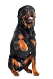Rottweiler and paw Royalty Free Stock Photos