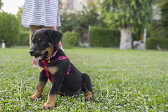 Rottweiler and paws Royalty Free Stock Image