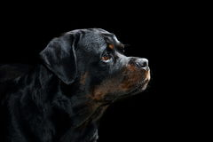 Rottweiler Profile Portrait in Studio with Black Background Stock Photos