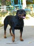 Rottweiler pies na lata tle obraz stock