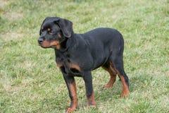 Rottweiler pies na zielonej trawie plenerowej Zdjęcie Royalty Free