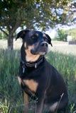 Rottweiler pies wewnątrz zdjęcia stock