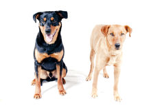 Rottweiler and Pinscher together Royalty Free Stock Image