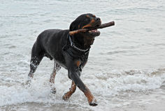 Rottweiler playing in the sea Royalty Free Stock Photos