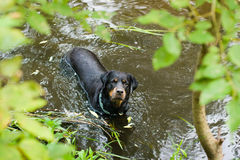 Rottweiler playing in the water Stock Photography