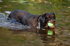 Rottweiler playing in the water Royalty Free Stock Images