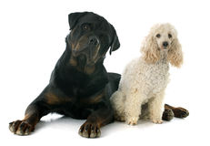 Rottweiler and poodle Royalty Free Stock Images