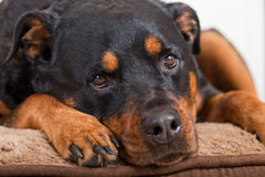 Rottweiler Portrait Royalty Free Stock Images