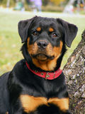 Rottweiler portrait Royalty Free Stock Photo