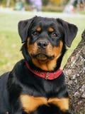 Rottweiler Portrait Lizenzfreies Stockfoto